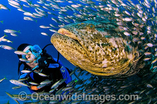 Largest Goliath Grouper Ever