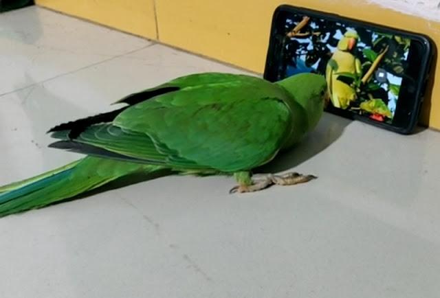 मोबाइल के बिना नहीं रह पाता है ये तोता, जिसके लिए मालिक करता है ऐसा काम...
