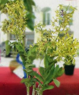 Dendrobium spesies juara III
