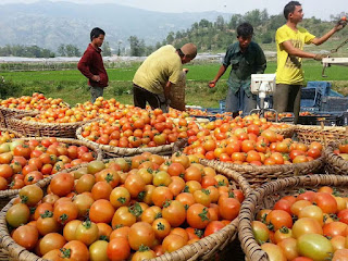 cara budidaya buah tomat yang baik