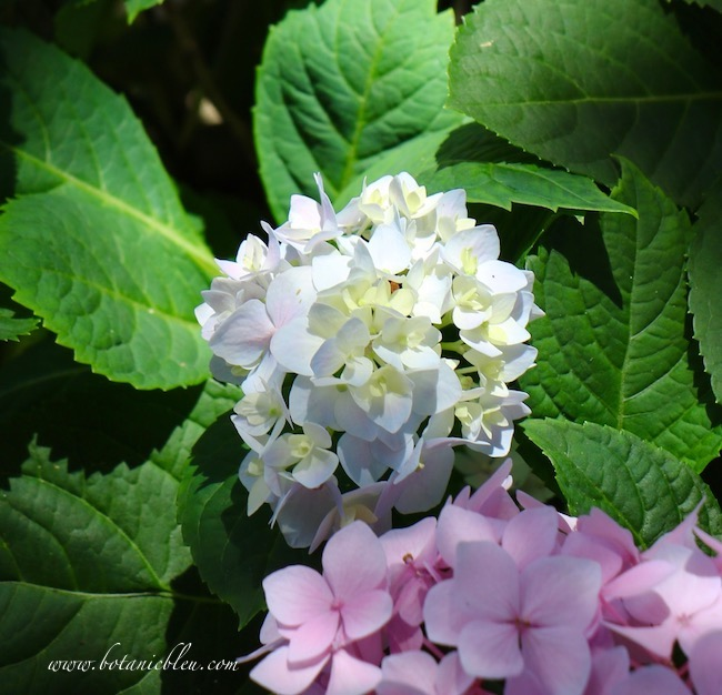 Continue to add aluminum sulfate to change the color of Hydrangeas in Containers on Shady Deck