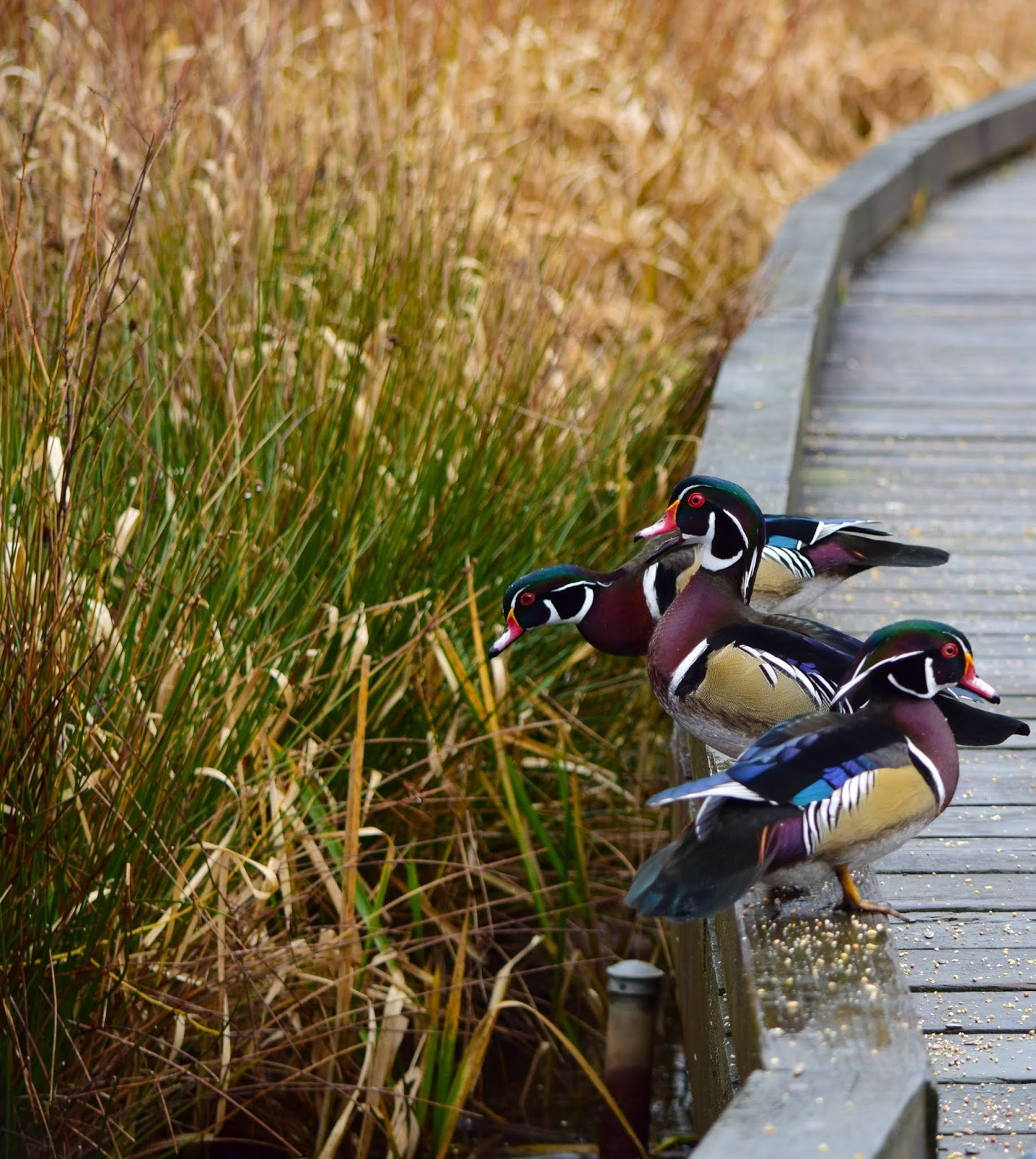 The Wood Duck is the most amazingly colorful waterfowl in the world