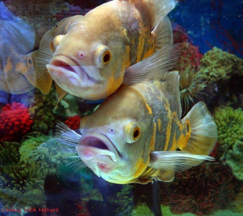 Memilih Ikan Oscar yang Bagus
