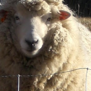 Romney Sheep Pros and Cons, Facts, Origin, Uses