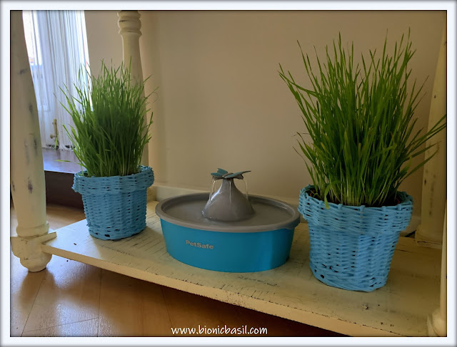 What's In The Box ©BionicBasil® My Cat Grass  - Grass Pots Potted On