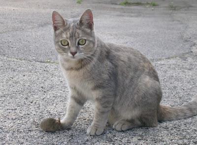Perawatan Kucing Asian