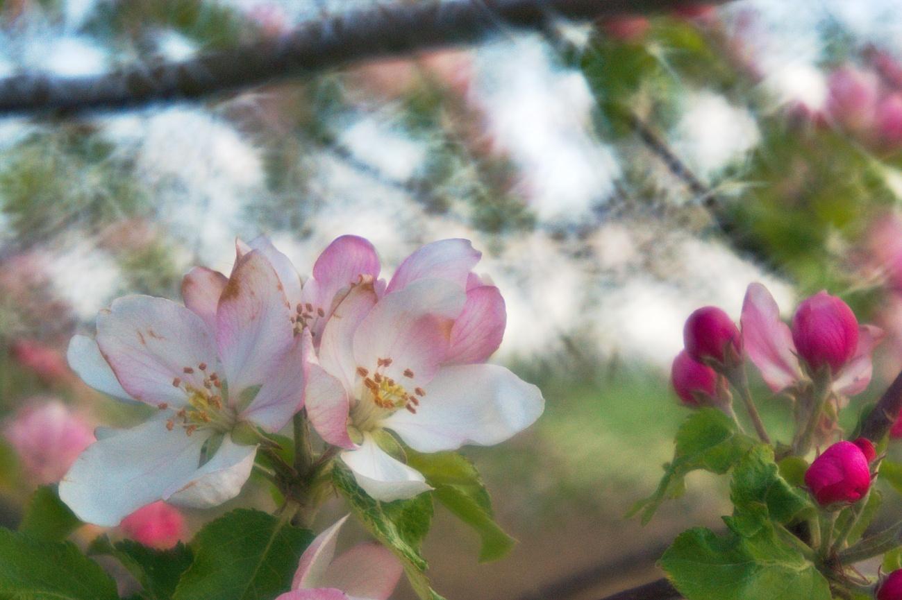 Bild des Tages #72 — Apfelblüte