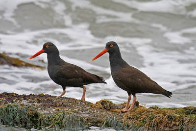 Photo of Black Oystercatchers on the rocks