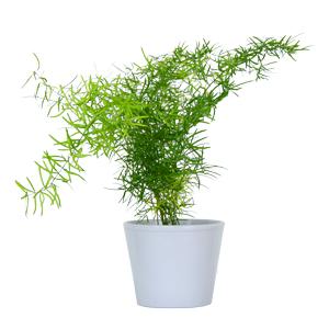 Asparagus Otrovna bljka za životinje