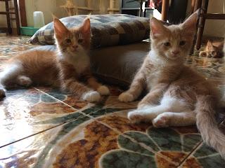 Gattini di Razza Maine Coon DISPONIBILI nel Nostro Allevamento
