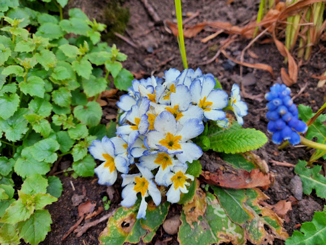 White primula flowers edged with blue in a border next to green leaves