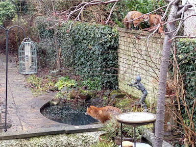 3 foxes in the garden