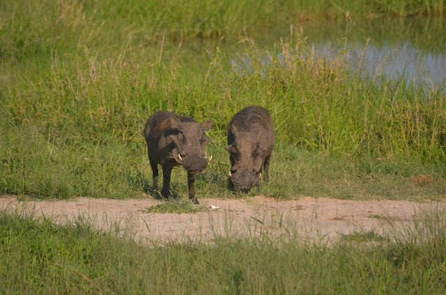 Warthog in @SANParksKNP @SANParks #SA #PhotoYatra #TheLifesWayCaptures