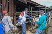 Plt Gubernur Aceh Lepaskan Sapi Karantina ke Padang Penggembalaan