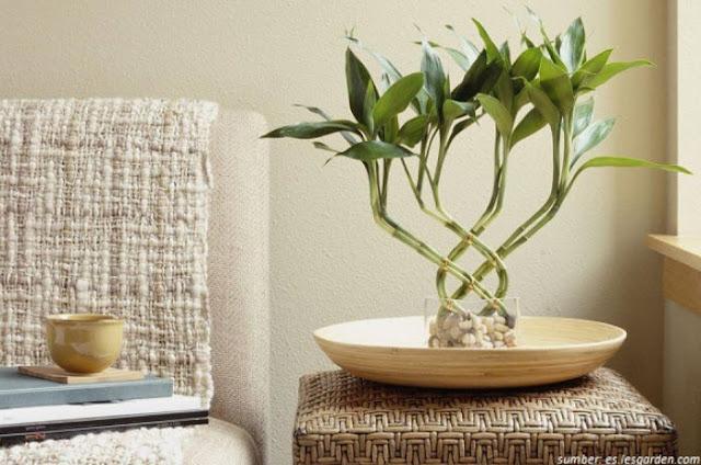 Bambu Air Adalah Jenis Tanaman Yang Memberikan Energi Positif, Ketenangan Serta Kenyaman Di Rumah