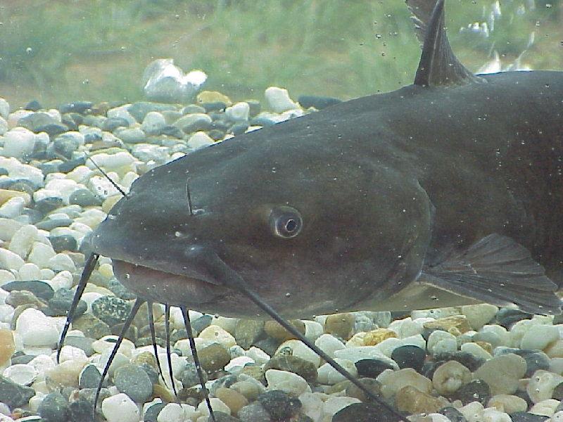 Gambar Ikan lele ( Ameiurus melas ) bernafas dengan insang dan termasuk jenis ikan bertulang sejati
