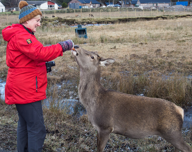 Photo of me feeding one of the hinds in Glencoe