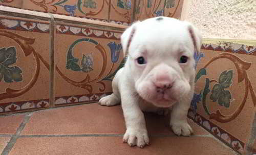 mestizos bulldog