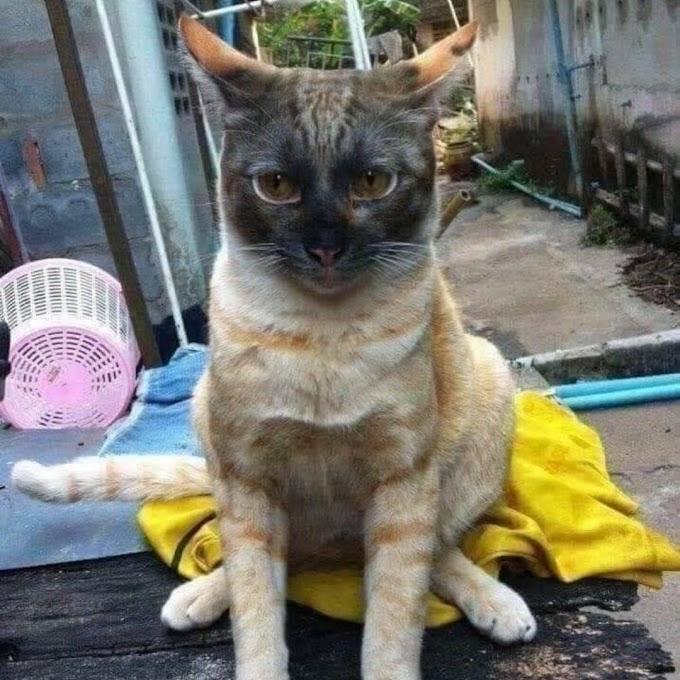 20 Gambar Kucing Oren Berkelakuan Pelik!