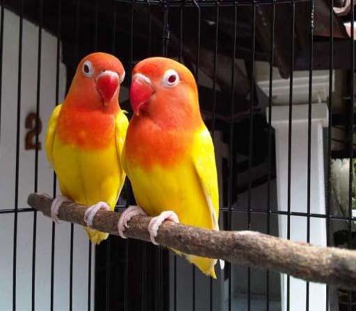 daftar harga burung lovebird lutino mata merah jinak