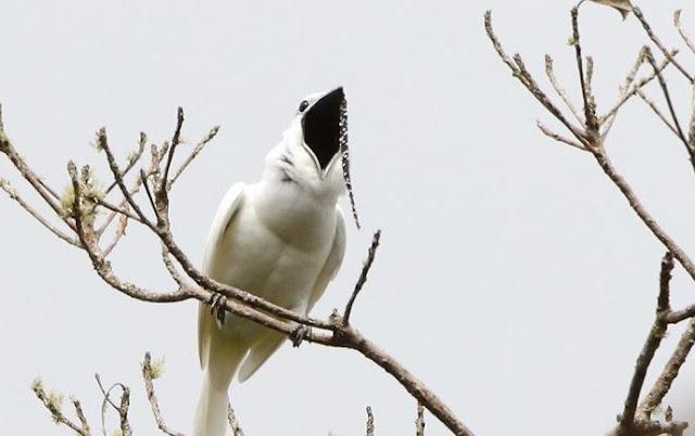 Foto Burung Kicau dengan Suara Kicauan Terkeras Di dunia White Bellbirds