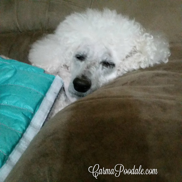 Carma Poodale, poodle sleeping covered up