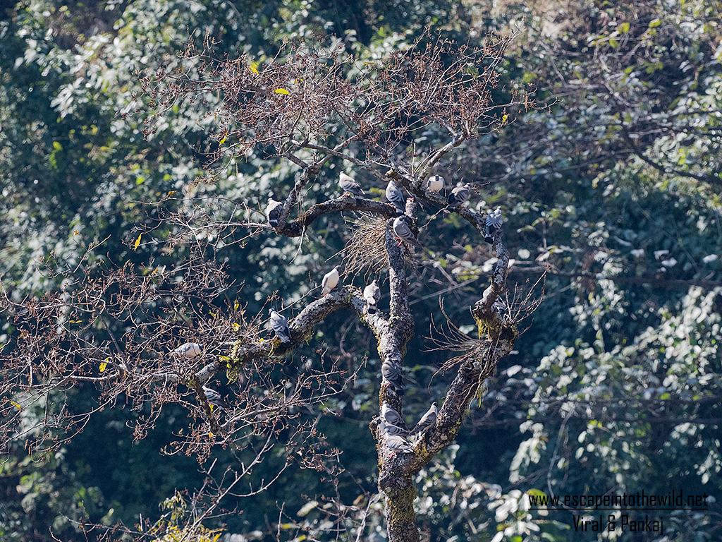 Columba leuconota