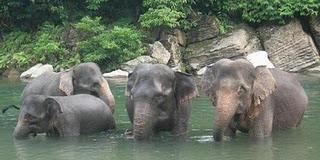 Diburu Warga, Bayi Gajah Ini Mati Terperosok Lubang