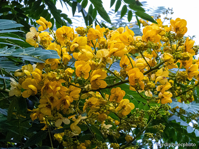 Golden Wonder Tree