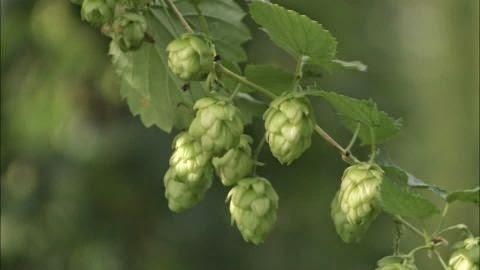 Different Types of Terpenes Found in Hemp