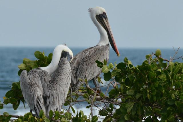 Urbina Bay Galapagos pelican