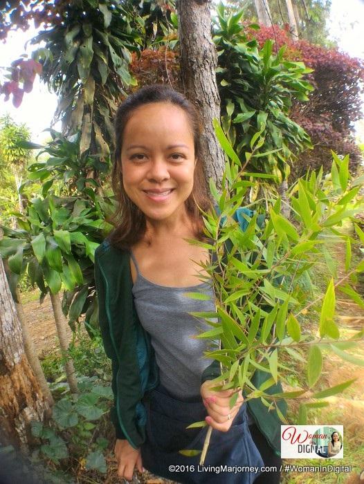 Organic Eucalyptus plant