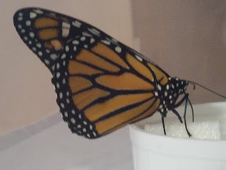 Monarch at feeder