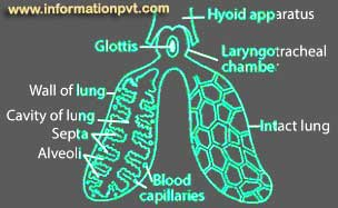 Lungs of frog diagram