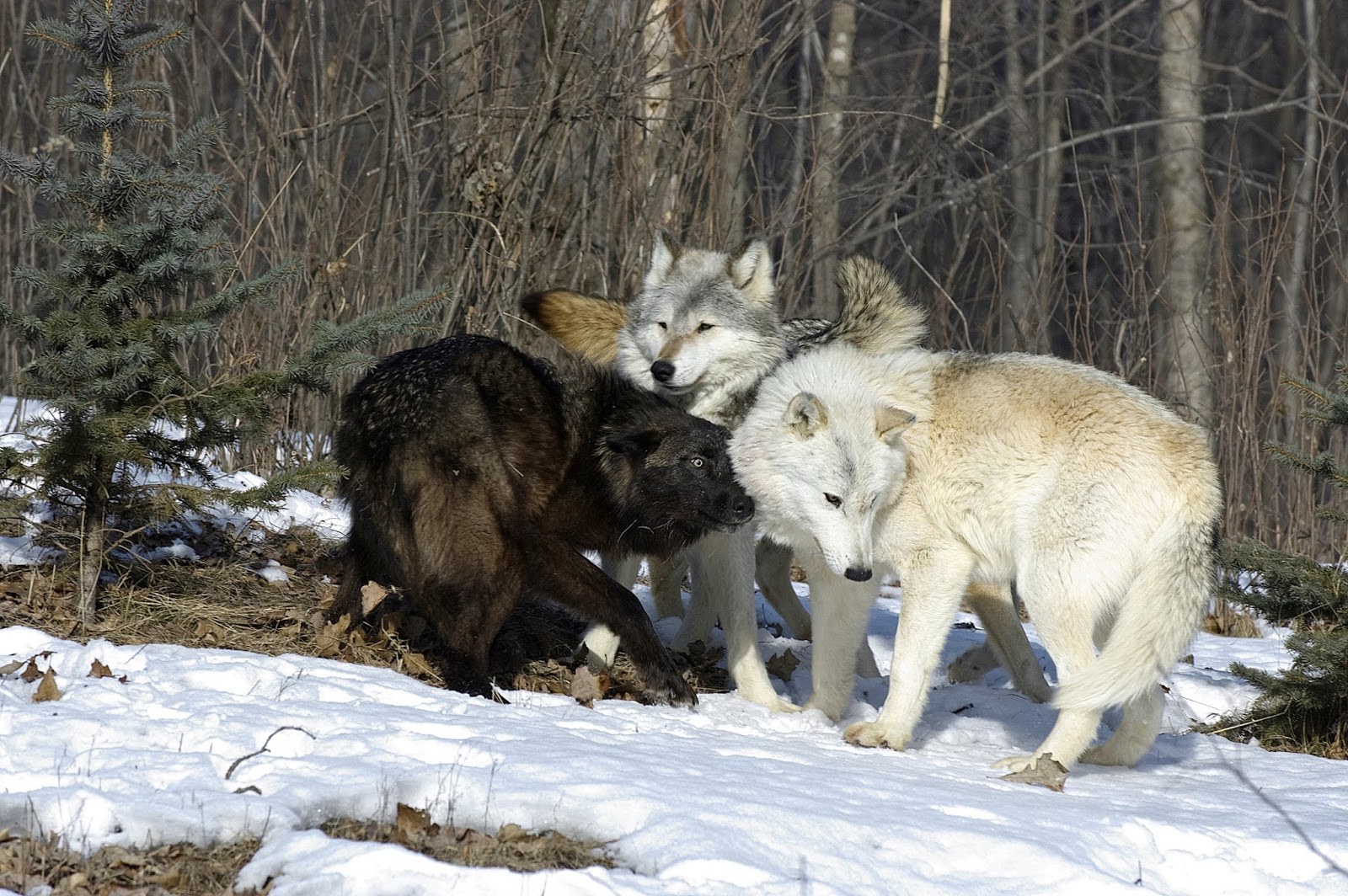 Project Gridless How Wolves Change Rivers Coyote Wolf