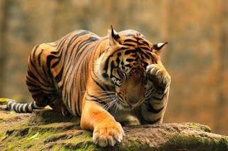 Tigre de Bengala 002
