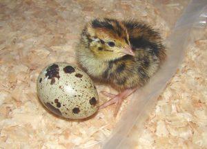 Persiapan Beternak Burung Puyuh dan Cara Memulainya