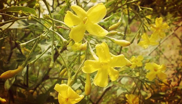 Jazmin amarillo cuidados