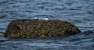 Comparison of Common and Roseate Tern Newfoundland