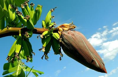 Budidaya buah pisang yang mudah dilakukan