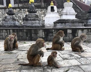 Rhesus macaques at Kathmandu,