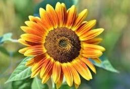 setangkai bunga matahari