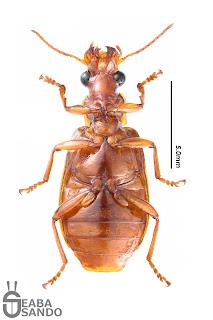 クロサヒラタアトキリゴミムシ