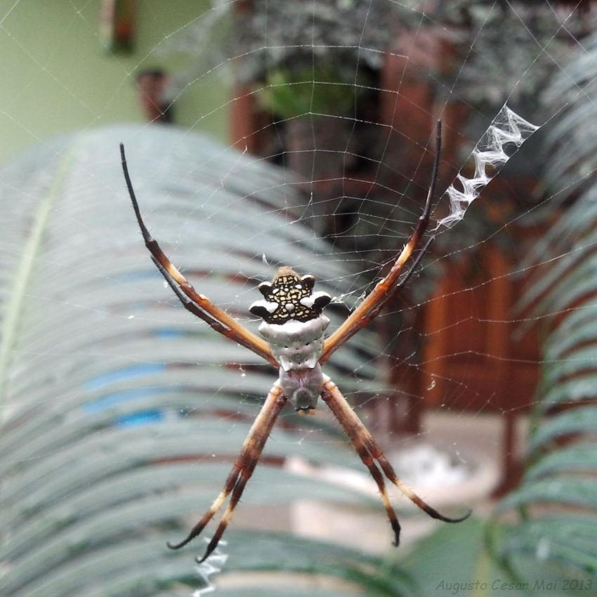 Insetologia - Identificação de insetos: Aranha de Prata no Rio de ...