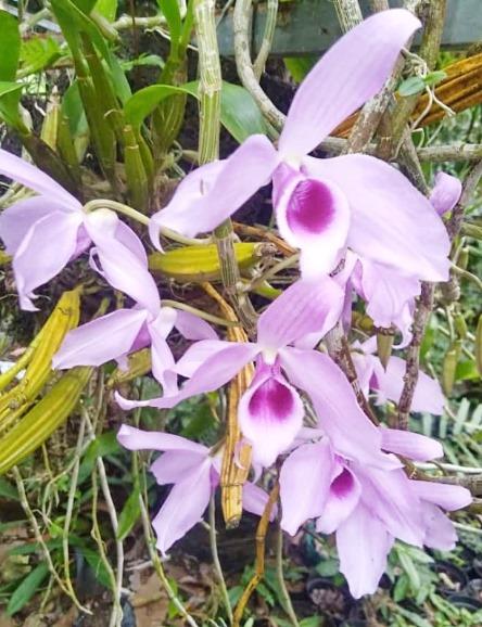 Bunga Anggrek Bulan Ungu 02