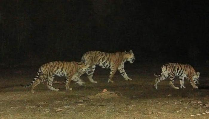 Ranthambhore National park, RNP, more tigers have  gone missing tigers, Kuno Palpur National Park, KPNP, Madhya Pradesh, RNP tigers, MP jungles,