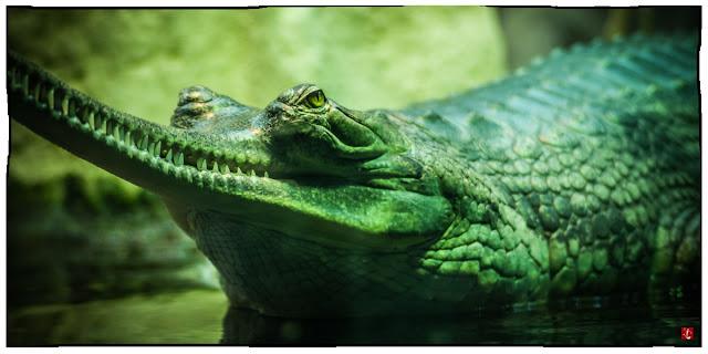 Therapeutisches Schwimmen, Echsen, Gavial, Krokodil, skurril, Insel, Geschichte, Fantasy, Humor