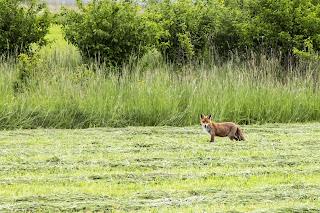 Fuchs auf dem Waffenplatz Frauenfeld