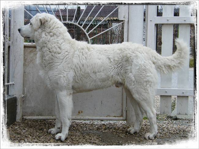 Perhaps one of the least recognizable breeds of the largest dogs in the world, the Kuvasz was nearly extinct during World War II. Originating from Hungary, these former royal guard dogs stand at about 30 inches tall and weigh between 75 and 150 pounds. These dogs have a dense white coat that ranges from wavy to straight in texture and their eyes are almond shaped. With proper training and socialization these dogs can make an excellent family dog, often described as having a clownish sense of humor.