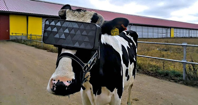 Equipping the cows with a virtual reality headset could make them produce better milk